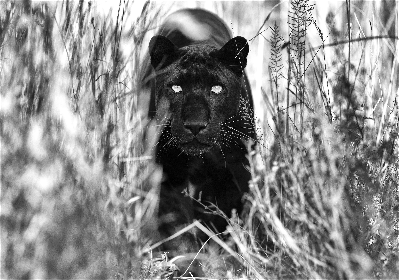 Panther_134,8x94,8